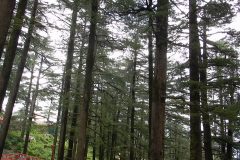 Shimla Jakhoo Temple - Cedar trees surround the temple