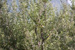 Manali Rohatang Pass - Apple is ripe